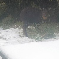 Reeves Muntjac spotted in snow on Xueshan. (Photo from Facebook page @bununmountain)