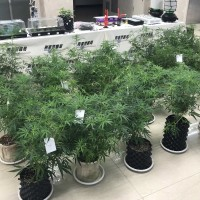 Filipino migrant worker, 3 Taiwanese charged with growing, selling pot