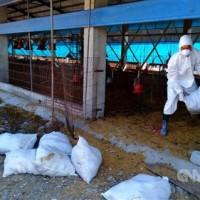 台灣屏東縣爆發禽流感 撲殺逾1萬隻黑羽土雞