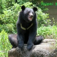 亞洲黑熊「黑糖」11歲生日趴   熊熊的秘密一次告訴你