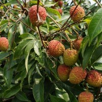 【半世紀首見】暖冬不雨 蜂蜜與荔枝產量慘慘慘!