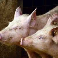 日岐阜縣第二大的養豬場爆豬瘟疫情 撲殺近萬頭豬
