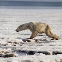 飢腸轆轆 俄國北極熊流浪700公里只為覓食