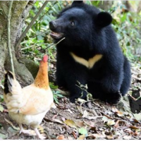 Taiwan to release young Formosan black bear into wild