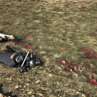 捕捉紅鮭回眸瞬間 攝影大師吳永森臥冰水30小時