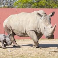法男童逛動物園 見證雌性白犀牛迎接新生兒
