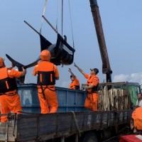 領航鯨受傷擱淺高市二仁溪沙灘 海巡緊急救援保命