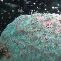 墾丁海域驚豔國際 軟珊瑚多達212種