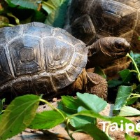 木柵動物園稀有亞達伯拉象龜  為食物不惜衝衝衝