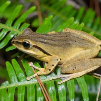 Alien species alert for Northern Taiwan: Breeding season for Spot-legged tree frogs