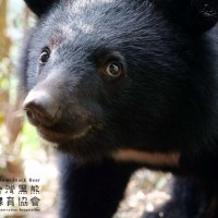 Taiwan Minister of Interior apologizes for jeopardizing black bear​​'s safety