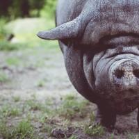 非洲豬瘟蔓延至香港 6000豬隻全數撲殺