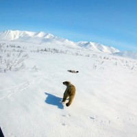 北極熊悲歌!極圈海冰持續融化  哺乳類獵食者陷生存危機