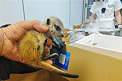Meerkats seized at Taiwan customs in rare wildlife smuggling