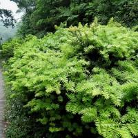 台灣油杉棲地保育有成 解禁珍稀植物