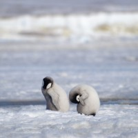 南極帝王企鵝數量銳減 料與氣候變遷有關