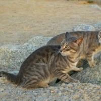 拯救特有種動物 澳洲政府計畫撲殺200萬隻流浪貓