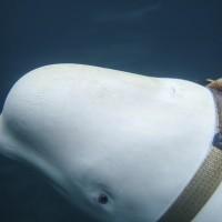 挪威漁船與白鯨邂逅 疑為俄國「水下哺乳類軍種」