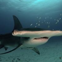 法知名水族館30隻無溝雙髻鯊死亡 動保團體控訴不當圈養