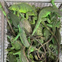 Green iguanas out of control in S. Taiwan