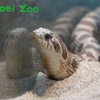 Taipei Zoo: Hognose snakes can conquer your fears