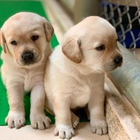 Host families for sniffer puppies needed in central Taiwan