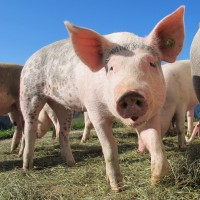 Swine fever suspected in Japan's Okinawa