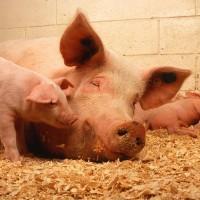 南韓非洲豬瘟疫情蔓延 今年共爆發11起確診個案