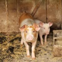 中國貴州1所學校送豬肉取代獎學金   第一名獨得30斤