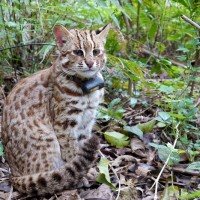 Poultry farmers in Taiwan support leopard cat protection despite losses