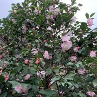 【春節好去處】台灣南投鹿谷「鳳凰自然園區」茶花盛開 展出人體花飾與玻璃茶花工藝