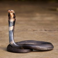 Snakes suspected source for Wuhan virus. (Wikimedia photo)
