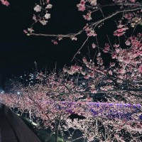 Time to enjoy sakura in the moonlight in Taipei's Neihu