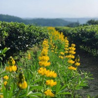 Lupine flower festival in N. Taiwan to offer outdoor enjoyment amid virus outbreak