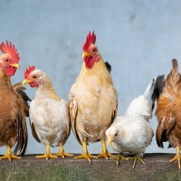 China lifts import ban on US poultry due to coronavirus