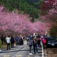 Cherry blossom watchers at central Taiwan's Wuling Farm down 46 percent