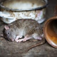 Rats possible culprit behind Wuhan virus outbreak: HK expert