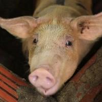 新冠肺炎為何大流行? 英研究:可能與非洲豬瘟相關