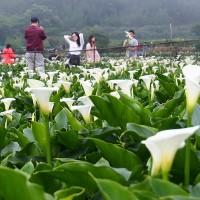 Calla lilies blooming in Taipei's Zhuzihu