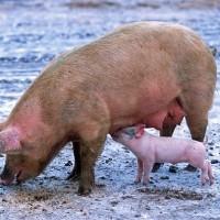 中國禍不單行 非洲豬瘟疫情再起 3月已爆發6起疫情