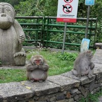 Photo of obese monkey prompts calls for visitors to stop feeding Formosan macaques