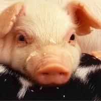 中國江蘇驚現生豬驗出非洲豬瘟 豬肉價格蠢蠢欲動