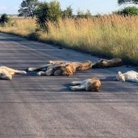 【武漢肺炎】非洲獅群大觀 沒了人類 歲月靜好