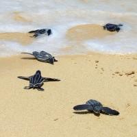 疫情重創泰國觀光 保育海龜海灘築巢 創20年新高