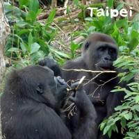 金剛猩猩大啖美食 台北動物園:保育員鬥智護植栽