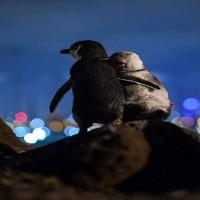 【武漢肺炎】疫情之下各國動物大解放 墨爾本企鵝搭肩看夜景萌翻