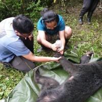 台灣黑熊誤入陷井 台東林管處緊急救援