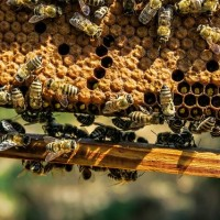 螞蟻不吃真蜂蜜?台灣農委會教三招辨真假