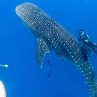 Photo of the Day: Whale shark spotted in S. Taiwan