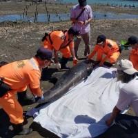 小虎鯨擱淺台灣嘉義沙洲 初步研判為溺水死亡